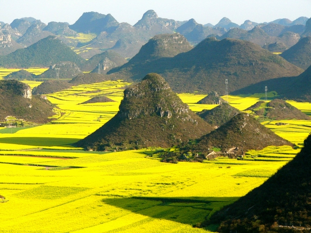 Luoping Rapeseeds Flowers